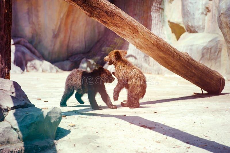 Bear cubs playing stock photography