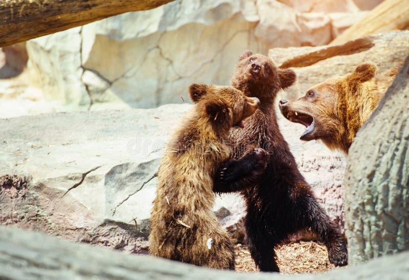 Bear cubs playing stock image