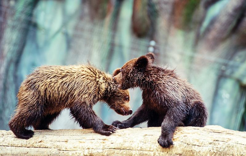 Bear cubs playing. Adorable, alaska, animal, arctos, baby, background, black, brown, chill, cute, danger, evening, family, female, finland, forest, funny royalty free stock images