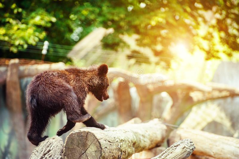 Bear cubs playing stock photo