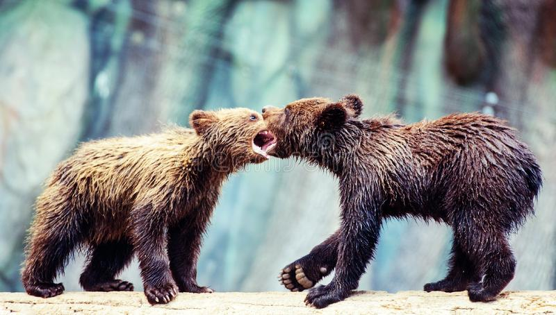 Bear cubs playing. Adorable, alaska, animal, arctos, baby, background, black, brown, chill, cute, danger, evening, family, female, finland, forest, funny stock photo