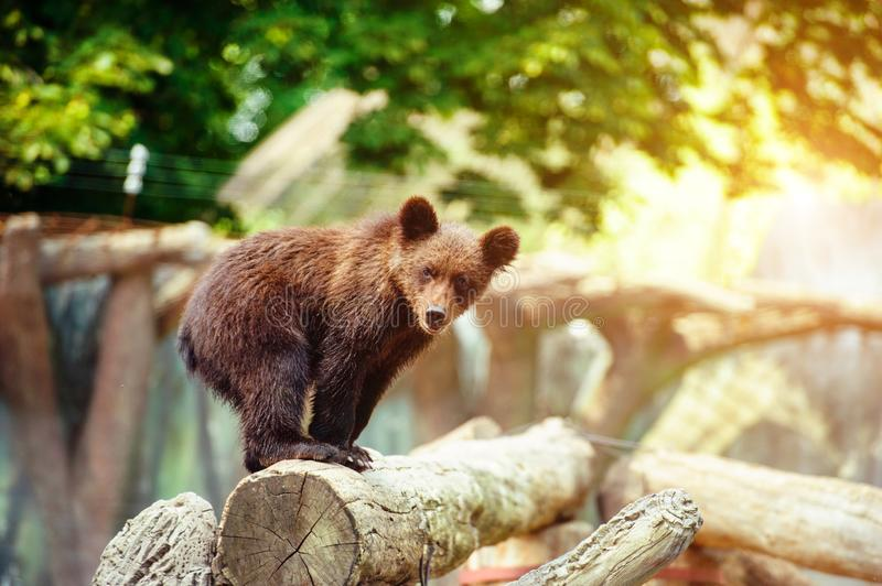 Bear cubs playing royalty free stock images