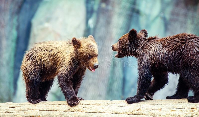 Bear cubs playing. Adorable, alaska, animal, arctos, baby, background, black, brown, chill, cute, danger, evening, family, female, finland, forest, funny royalty free stock photography