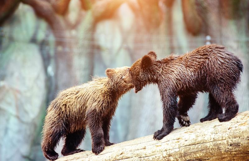 Bear cubs playing. Adorable, alaska, animal, arctos, baby, background, black, brown, chill, cute, danger, evening, family, female, finland, forest, funny stock images
