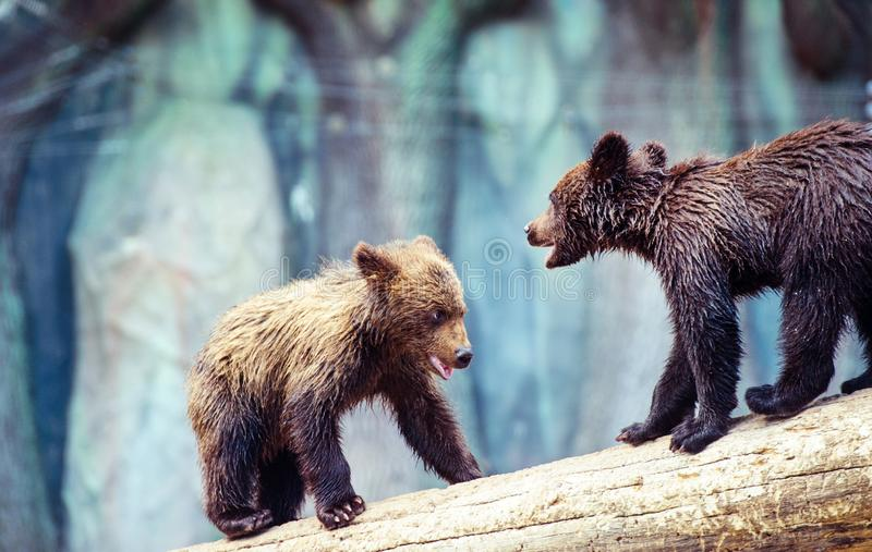 Bear cubs playing. Adorable, alaska, animal, arctos, baby, background, black, brown, chill, cute, danger, evening, family, female, finland, forest, funny royalty free stock photo