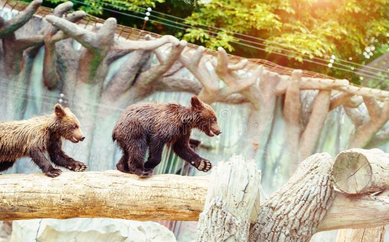 Bear cubs playing stock photos