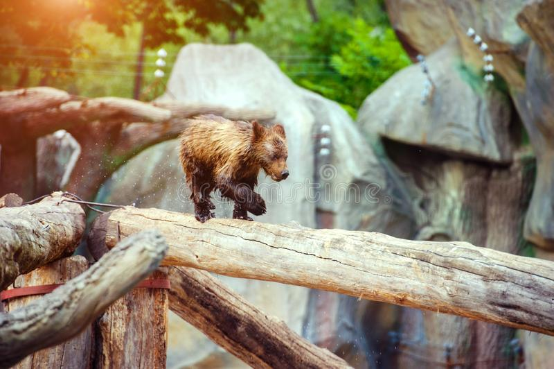 Bear cubs playing royalty free stock image