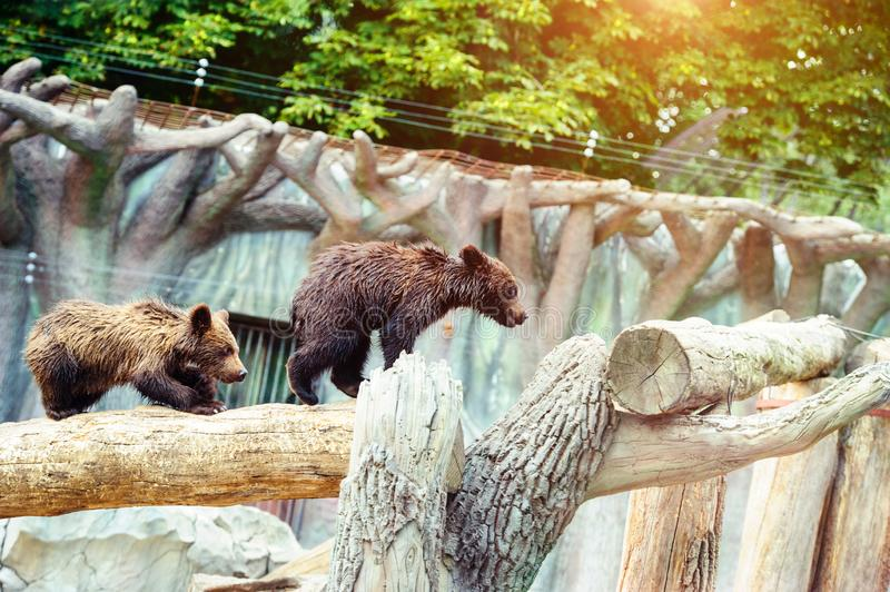 Bear cubs playing royalty free stock photography