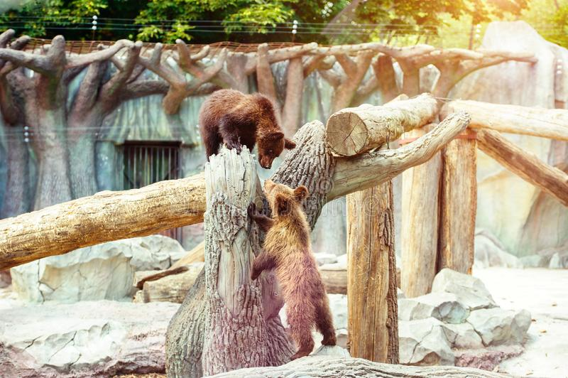 Bear cubs playing royalty free stock photos
