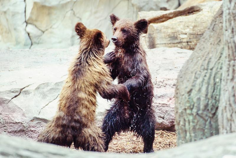 Bear cubs playing stock images