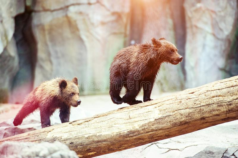Bear cubs playing. Adorable, alaska, animal, arctos, baby, background, black, brown, chill, cute, danger, evening, family, female, finland, forest, funny royalty free stock photos