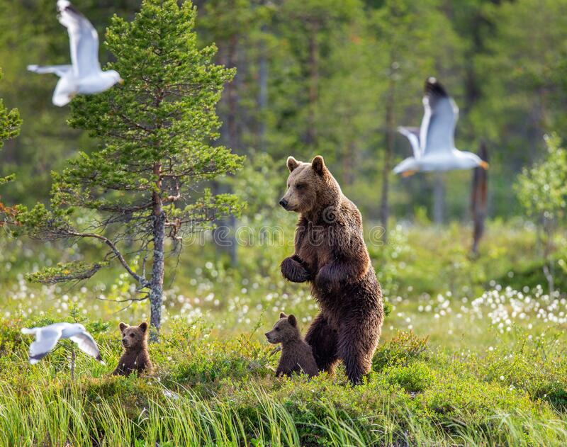 She-bear with cubs on the shore of a forest lake. royalty free stock photos