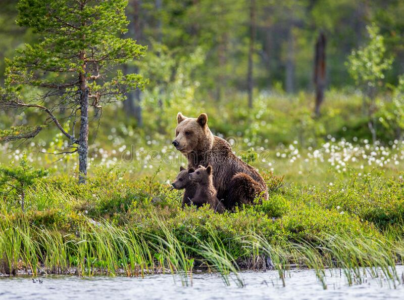 She-bear with cubs on the shore of a forest lake. royalty free stock images