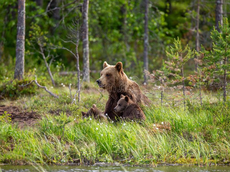 She-bear with cubs on the shore of a forest lake. royalty free stock photography