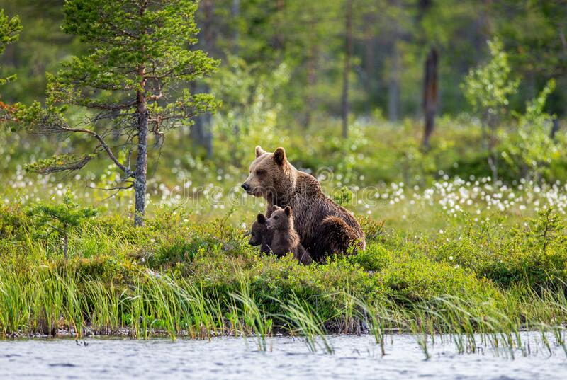 She-bear with cubs on the shore of a forest lake. royalty free stock image