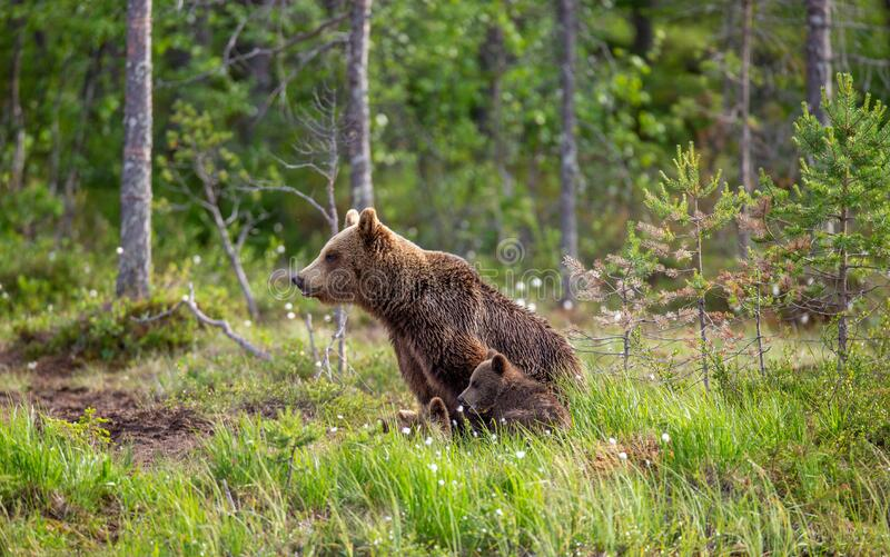 She-bear with cubs on the shore of a forest lake. stock photo