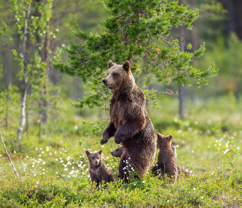 She-bear with cubs on the shore of a forest lake. stock image
