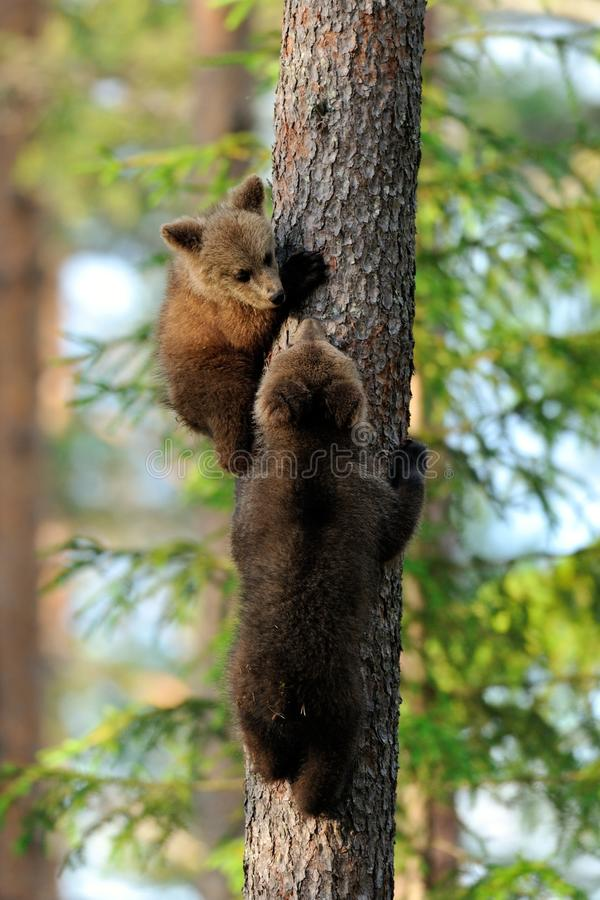 Bear cubs on tree. In summer stock images