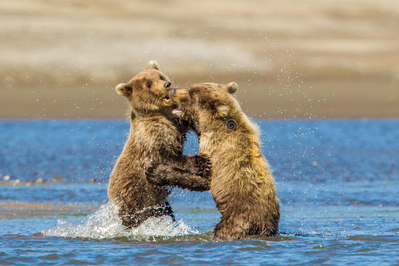 Bear Cubs. Two Young Alaskan Coastal Brown Bear Cubs aka Grizzly Bears Play-Fighting In Stream stock image