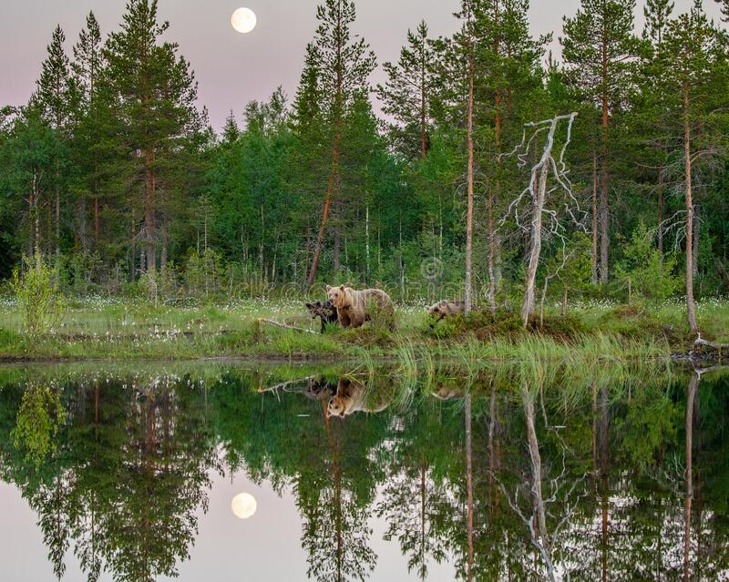 She-bear with cubs walks along the edge of a forest lake with a stunning reflection with the moon in the background. White Nights. Summer. Finland stock image