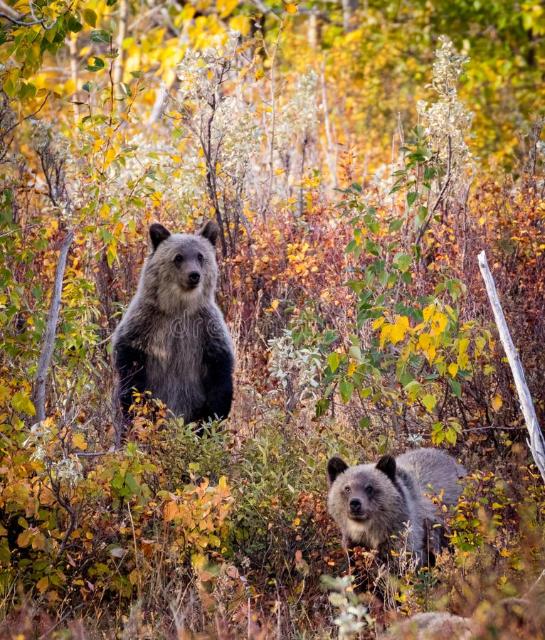 2 bear cubs in the woods royalty free stock image