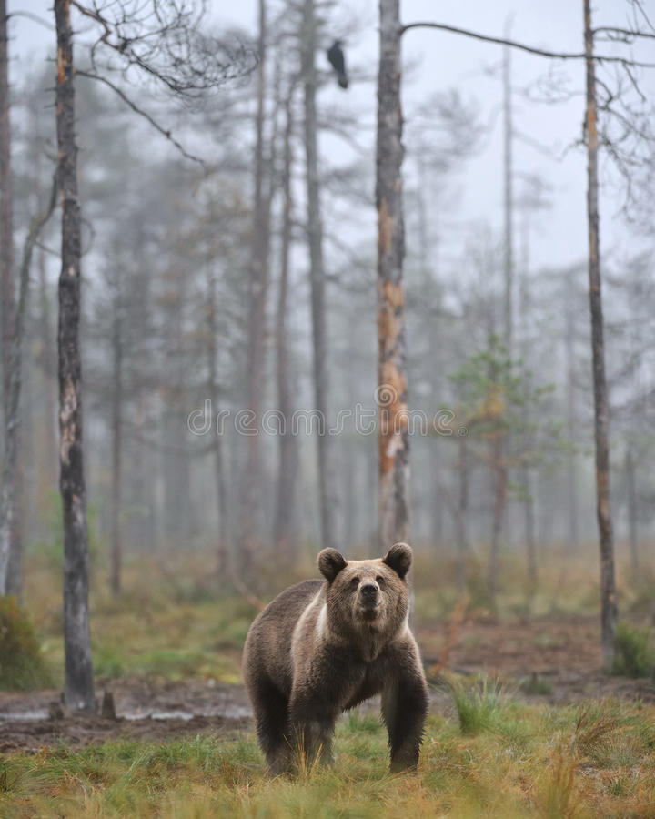 Download Bear cup stock image. Image of bear, mist, cups, early - 21580161