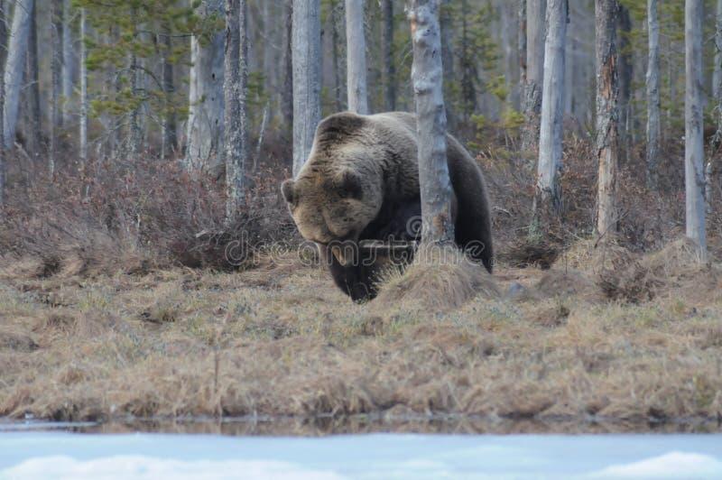 Bear eating. A bait stock photography