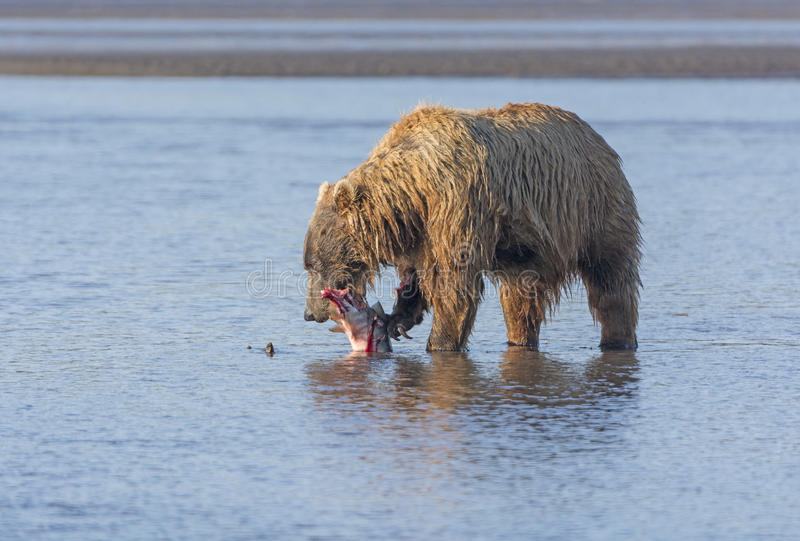 Bear Eating a Salmon it Caught. In Hallo Bay in Katmai National Park in Alaska stock images