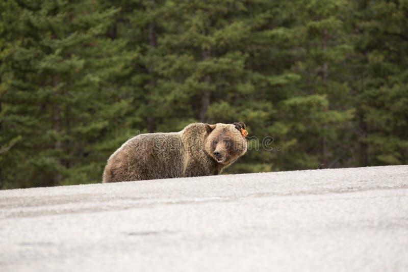 Bear on edge of road stock photo