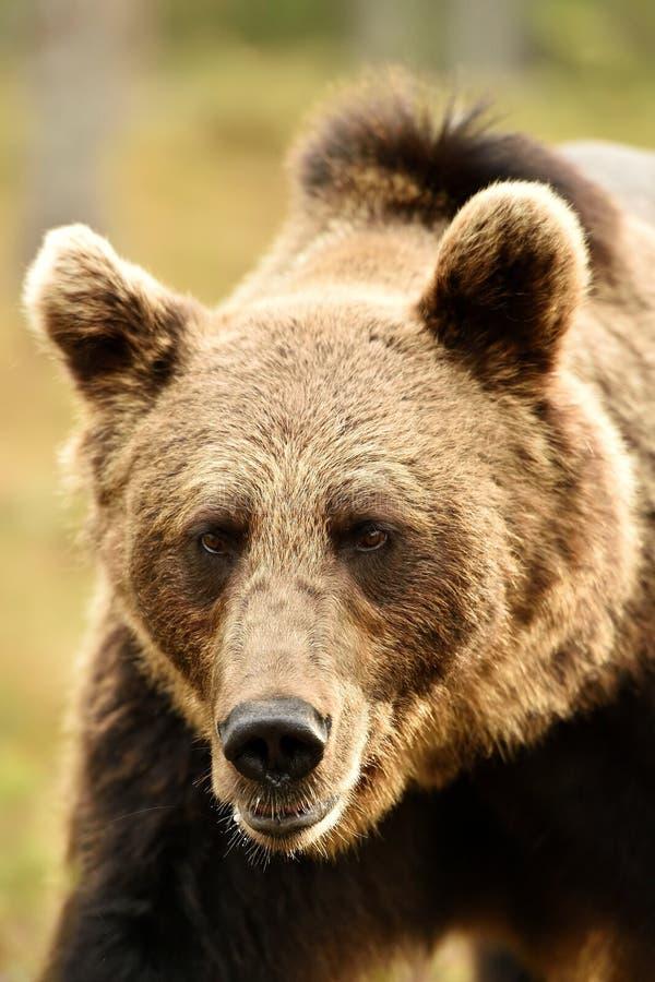 Bear face closeup. Bear portrait. Bear face closeup royalty free stock photo
