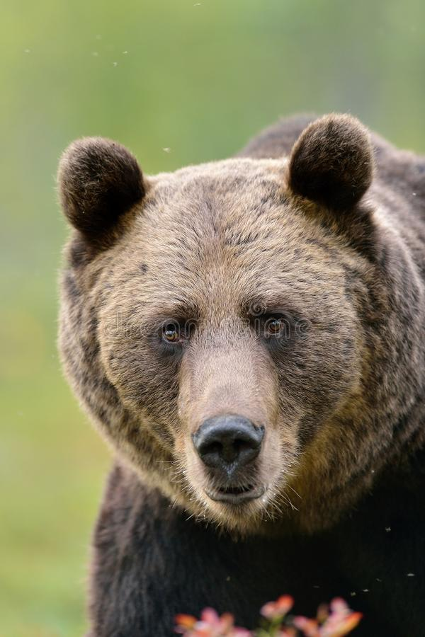 Bear face. In the forest royalty free stock photos