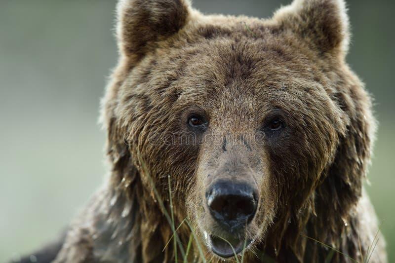 Bear face. bear portrait. Brown bear face. brown bear portrait royalty free stock photography