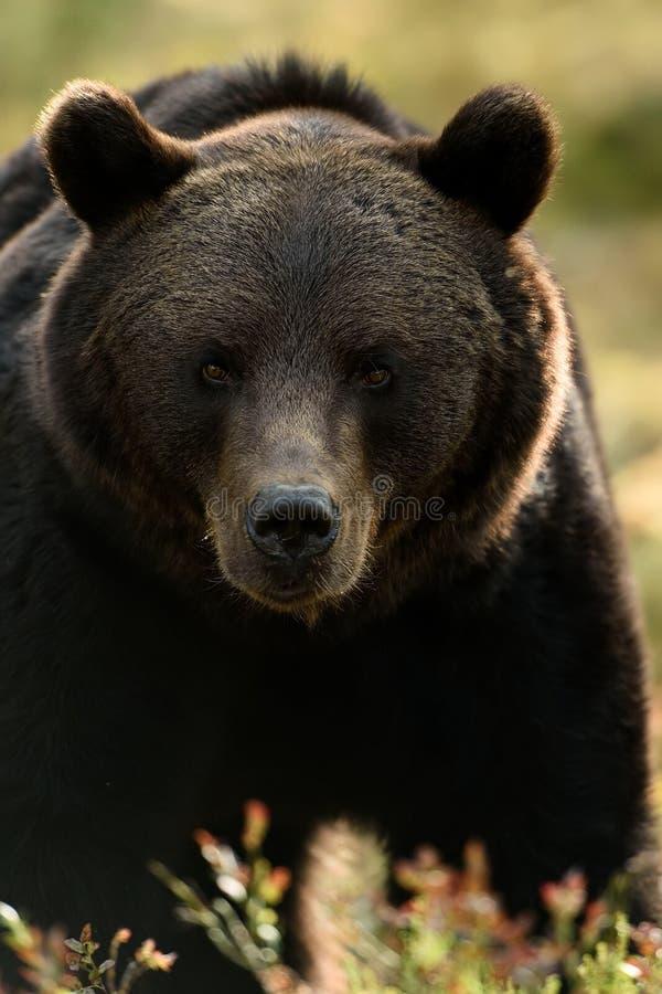 Bear face, bear portrait. Bear face. Dark bear portrait royalty free stock photography