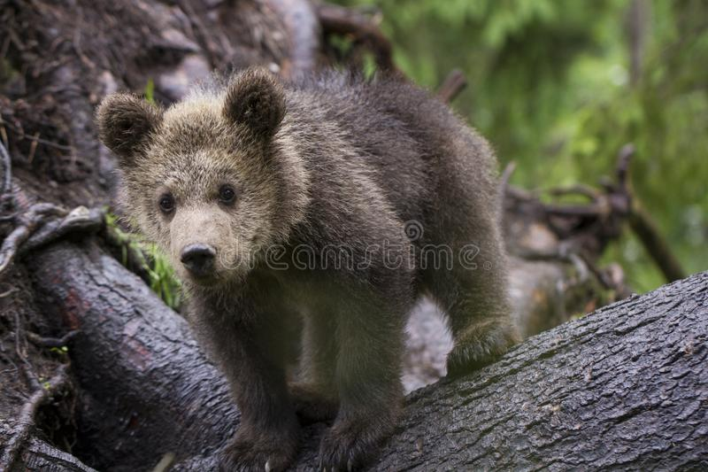 Bear on fallen tree looking at camera royalty free stock images