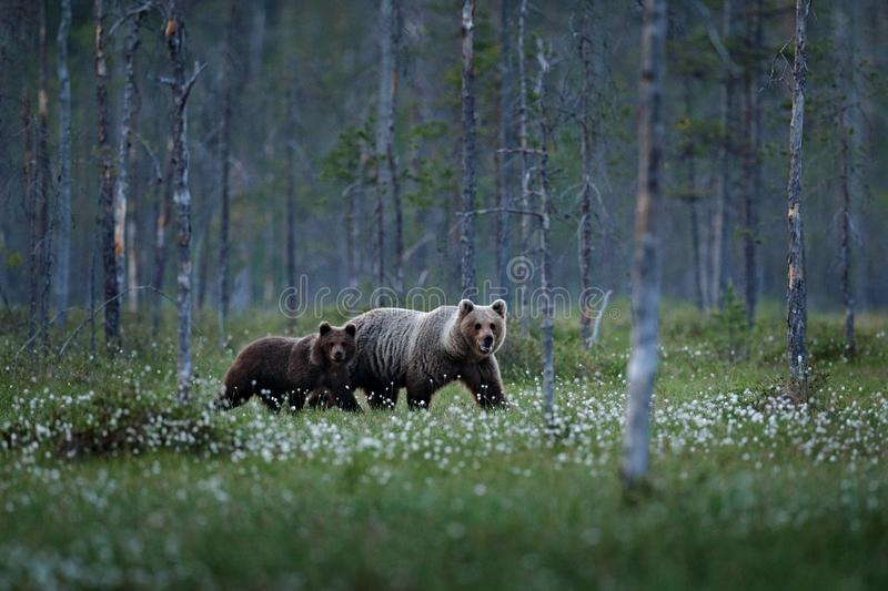Bear family in summer cotton grass. Bear cub with mother. Beautiful animals hidden in the forest. Dangerous animals in nature fore. St and meadow habitat royalty free stock photography