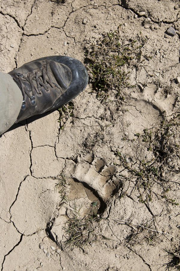 Bear foot print royalty free stock photography