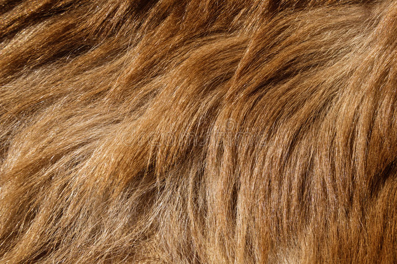 Bear Fur Background. Brown colored black bear fur background texture image stock image