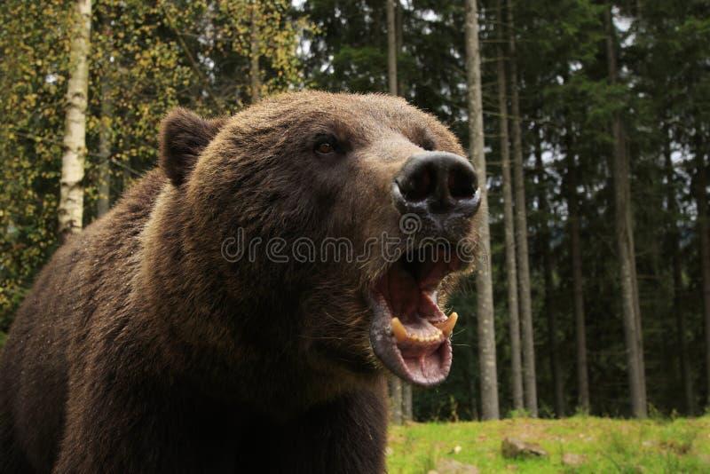 Bear Fury royalty free stock photo