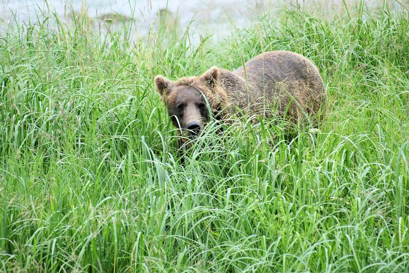 Bear in the grass. A Picture of a Brown Bear (grizzly) in Haynes Alaska royalty free stock photos