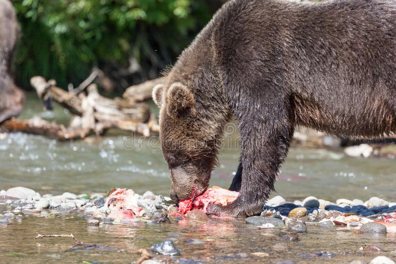 Bear grizzly eating fishing fish salmon close-up in the lake royalty free stock photos