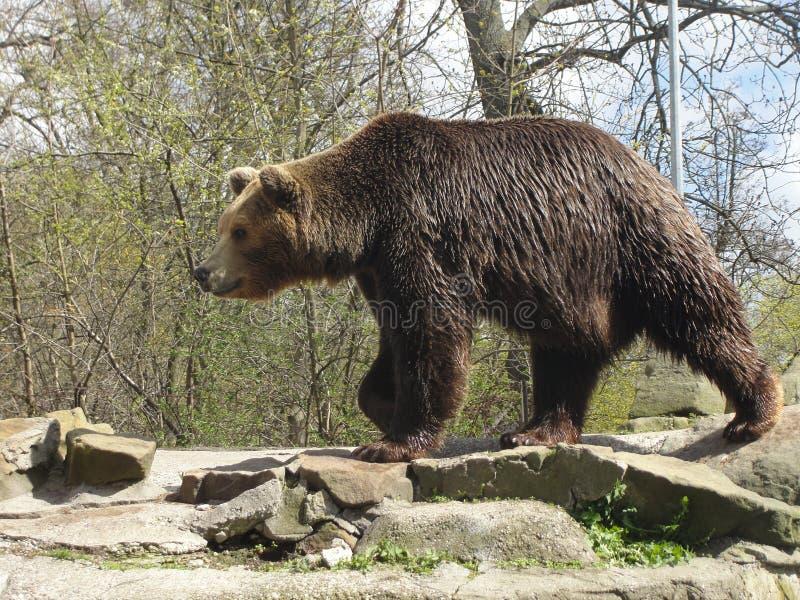 Bear. Handsom bear. Kaliningrad zoo, Russia royalty free stock photo