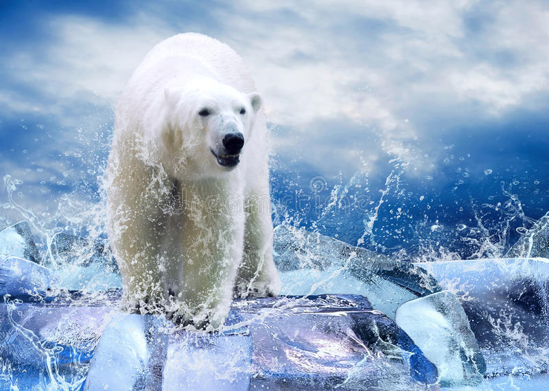 Bear Hunter. White Polar Bear Hunter on the Ice in water drops royalty free stock photo