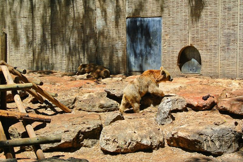 Bear in the Israeli zoo on a sunny day royalty free stock image