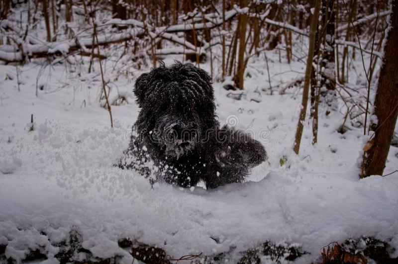 The bear-like dog is running in a snowy forest royalty free stock photos
