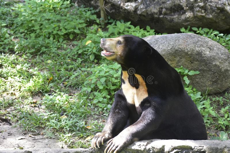 Bear look cute in various postures. It is an omnivorous animal such as lace, young leaves,. And many favorite animals are honey royalty free stock photos