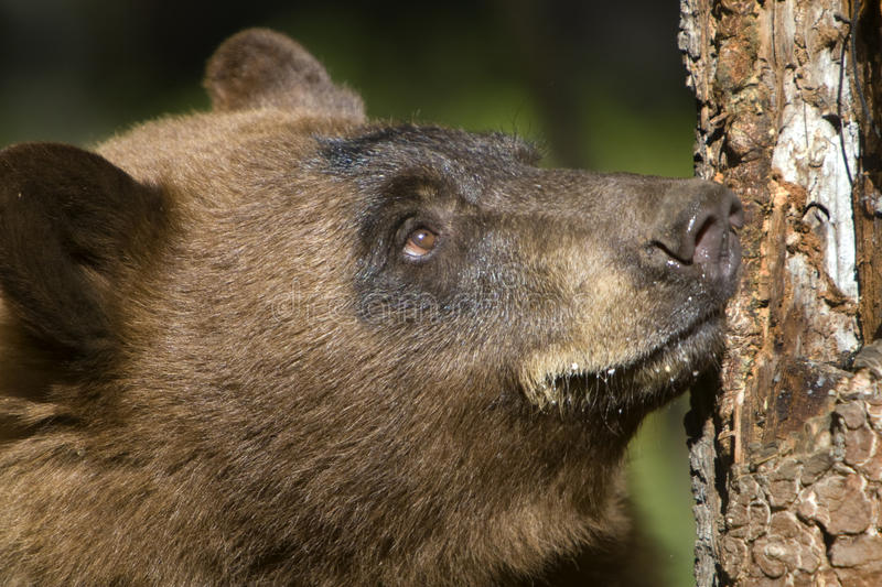 Download Bear Looking up Tree stock photo. Image of american, animal - 10963212