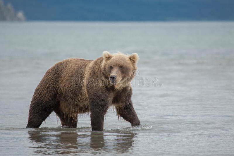 Bear looks for fish in water. Kuril lake, Kamchatka royalty free stock photo
