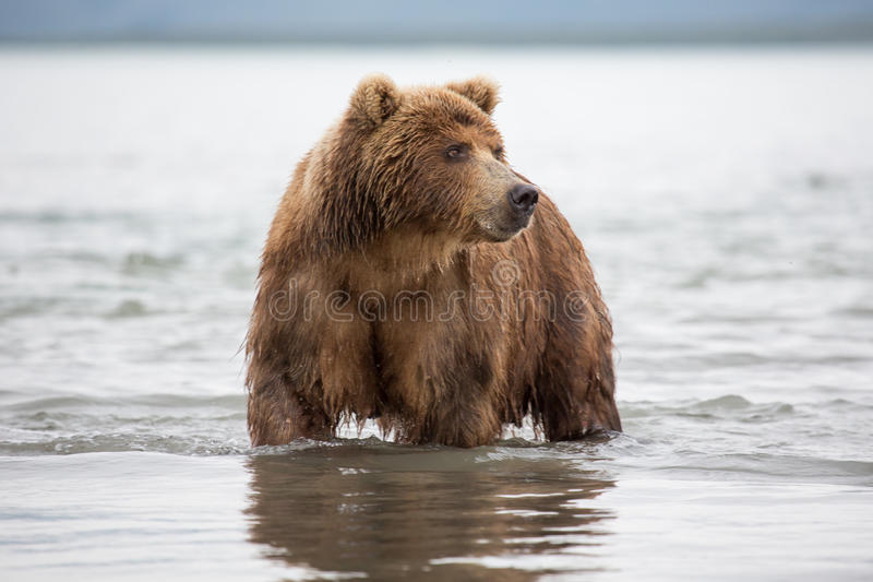 Bear looks for fish in water. Kuril lake, Kamchatka royalty free stock image