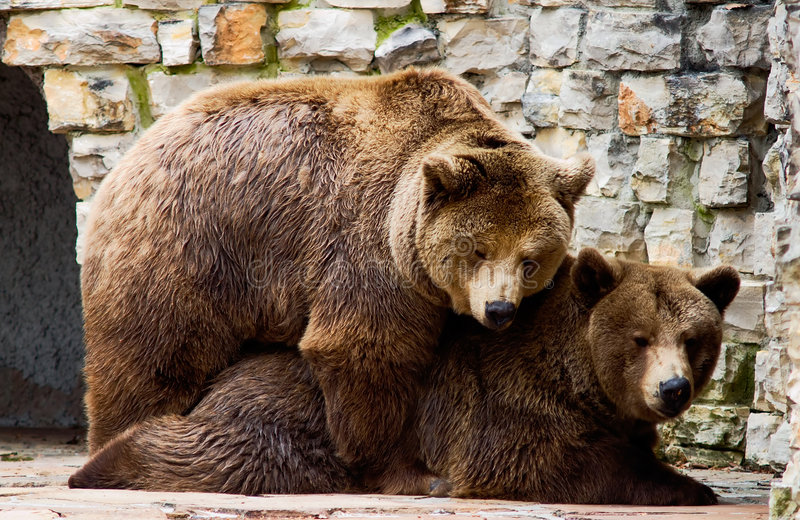 Bear in love royalty free stock image