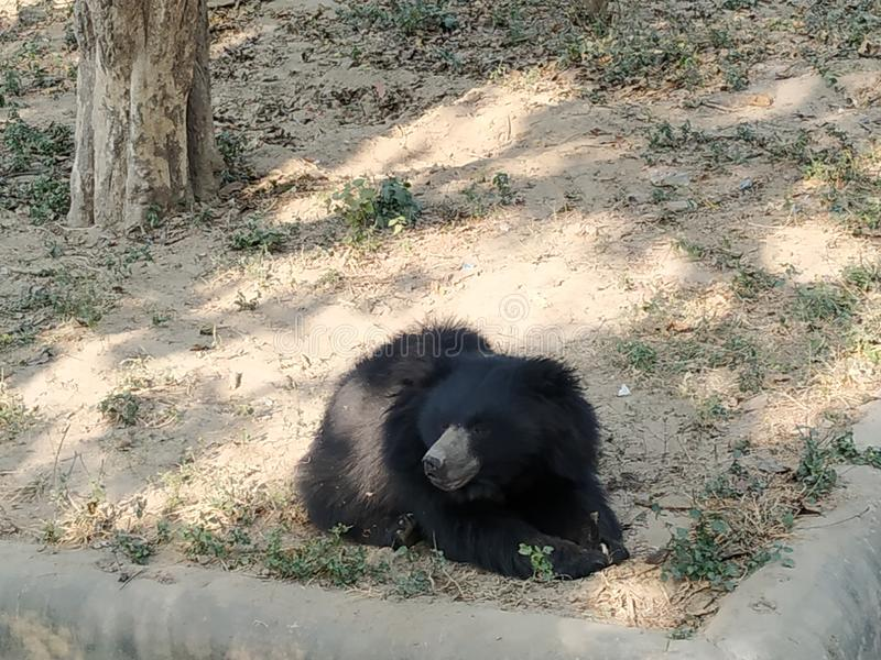 Bear from Lucknow zoo royalty free stock photo